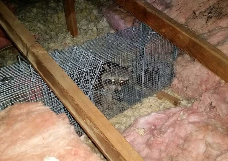 Trapped this raccoon in an attic using Berry Bandit Bait