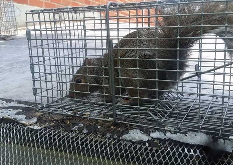 Picture of a trapped squirrel at the Piney Potion  Bait Add To Cart Page