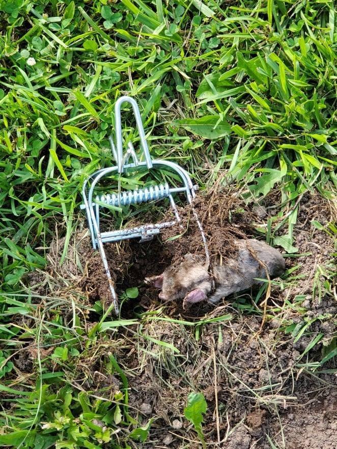 The Mole Whacker Trap Catches Mole 1
