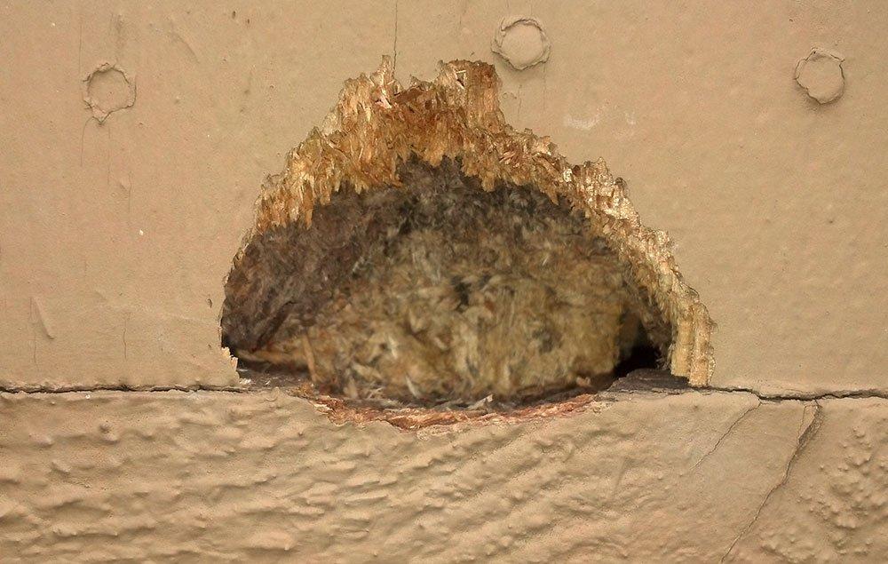 Cedar Wood Siding On House Damage By Woodpecker